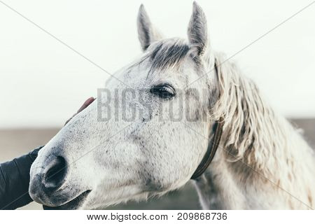 White Horse head close up hand touching Lifestyle animal and people friendship kindness concept