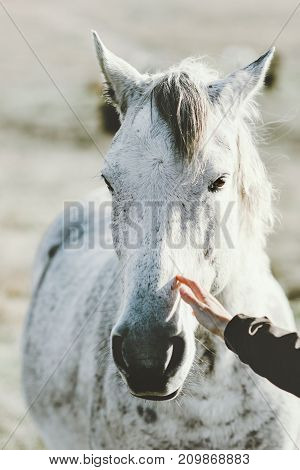 White Horse head hand touching Lifestyle animal and people friendship Travel concept