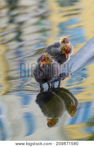 Close-up of beautiful little Baby Coots at the Lake. View on little Coots in a Pond. Little Moorhens in the Water. wildlife and Nature Backgrounds.