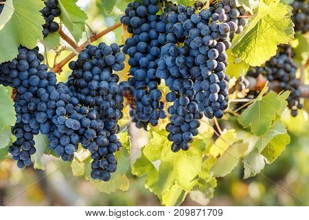 Multiple bunches of red wine grapes on summer vine with green leaves.