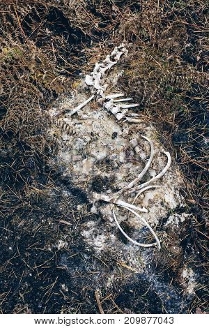 Decomposing Skeleton Of Animal On Forest Ground.