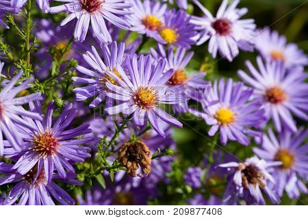 Closeup of aster dumosus with dewdrops in a naturalautumn garden. Shallow depth of field.
