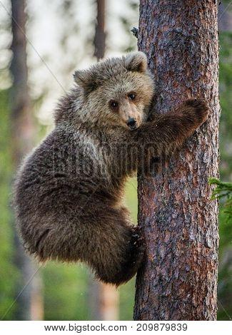 Cub Of Brown Bear Climb On The Tree.the Bear Cub Climbing On The Tree. (ursus Arctos Arctos) Brown B
