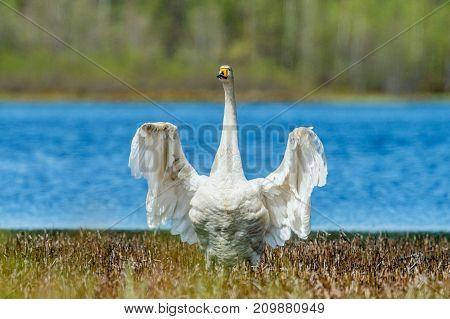 Swan Spreading Wings. Whooper Swan. Cygnus Cygnus