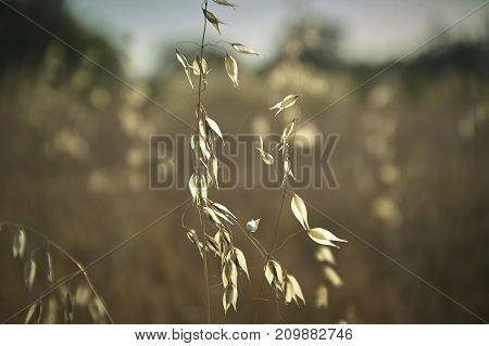Oat Plant In A Field Driven By The Wind