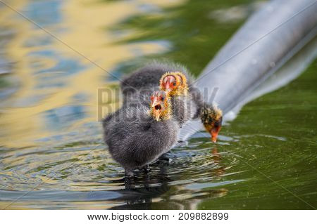 Close-up of a little Baby Coot with open Mouth. View on a beautiful young Coots in the Water. Moorhens and Coots. Nature and Animal Backgrounds.
