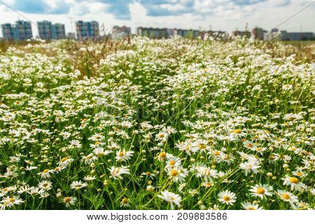 The flower field and multi-storey buildings on the horizon