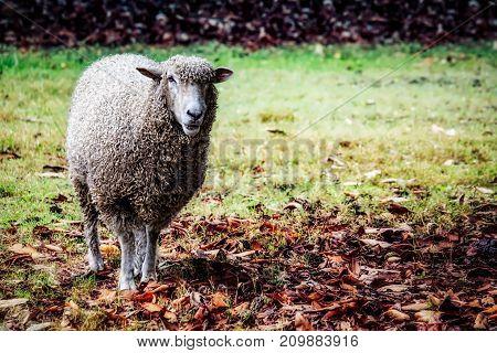A sheep under a tree on an autumn day near Williamsburg Virginia