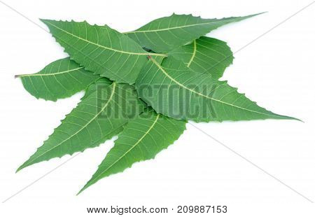 Closeup of Medicinal neem leaves over white background