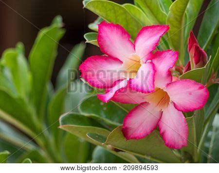 Pink Desert Rose Mock Azalea flower Beauty in nature.