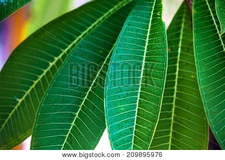 Green tropical leaves with rain drops close-up. Frangipani leaf growing on a tree.