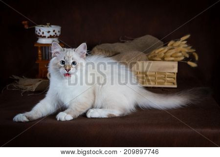 Purebred beautiful Neva masquerade cat, kitten on a brown background. Coffee grinder and box with dry flowers as decoration