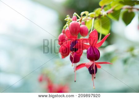 Pink Purple Fuchsia Magellanica. Hummingbird Flower In Park. Hanging Lady's Eardrops In Garden