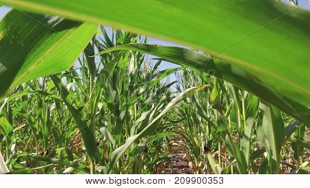 Corn field farming corn farm steadicam. green grass agriculture united states nature video usa motion corn farm