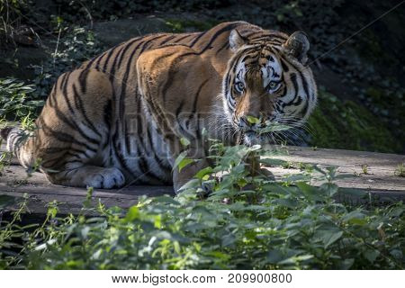 A Siberian tiger found eating its kill