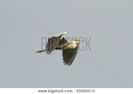 great grey heron in flight against the blue sky / Ardea cinerea