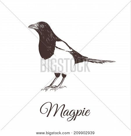 Magpie sketch vector illustration. A series of drawings of birds. Magpie hand drawing