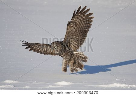 Great grey owl pounces on prey in winter (Strix nebulosa)