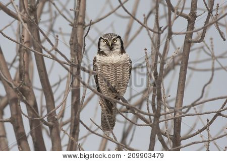 Northern Hawk Owl (Surnia ulula) in tree preparing to fly in winter