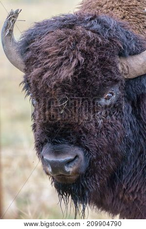 American Bison on the Colorado Plains - Genetically Pure Specimen