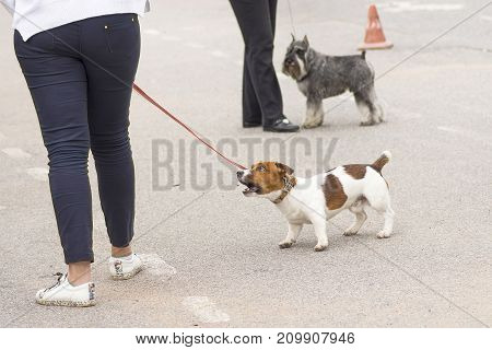 Jack Russell Terrier hunting dog breed. Space under the text. 2018 year of the dog in the eastern calendar Concept: parodist dogs, dog friend of man, true friends, rescuers.