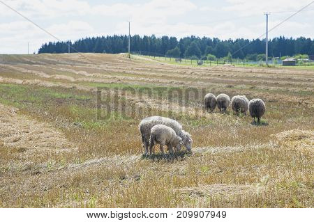 Belarus-Belarus-a flock of sheep, sheep eat grass, sheep wool, sheep roaming the farm in the village