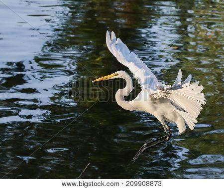 A white egret taking off into flight