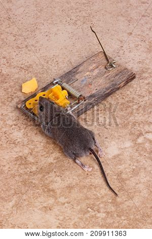 common house mouse mus musculus killed in a bar snap trap loading