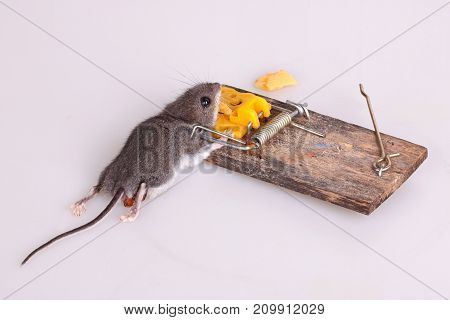 Common house mouse (Mus musculus) killed in a spring-loaded bar snap trap on a white background