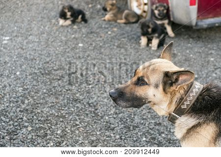 Female dog in the foreground and cubs in the blurred background