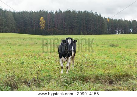 Belarus - cow on pasture, pasture on meadow, Belarusian cow, milk a cow