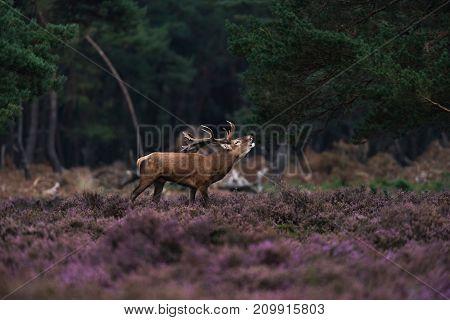 Bellowing Red Deer Stag (cervus Elaphus) In Rutting Season.