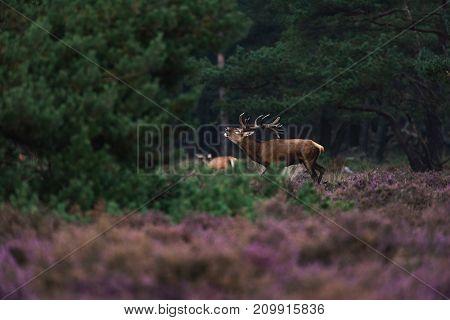 Bellowing Red Deer Stag In Rutting Season In Blooming Moorland.