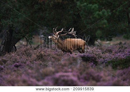 Red Deer Stag In Rutting Season In Blooming Moorland.