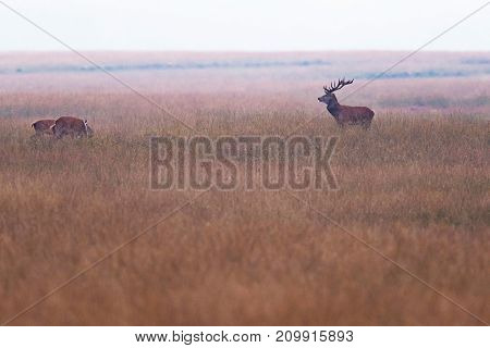 Red Deer Stag With Two Hinds In High Grassland.