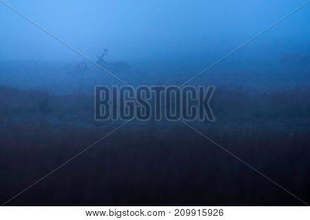Two Red Deer Stag (cervus Elaphus) In Misty Grassland.