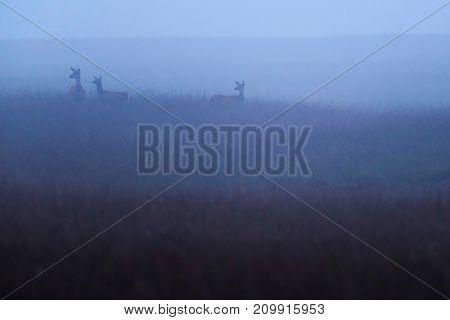 Three Red Deer Hinds (cervus Elaphus) In High Grass In Mist.