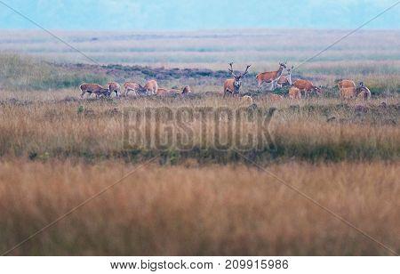 Red Deer Stag In Grassland Between Herd Of Hinds.