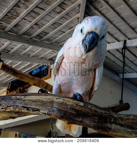 Big white bird stands on wood with big eyes and mount.