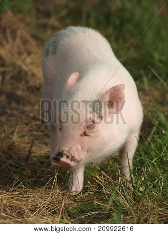 a pig animal in a field by itself.