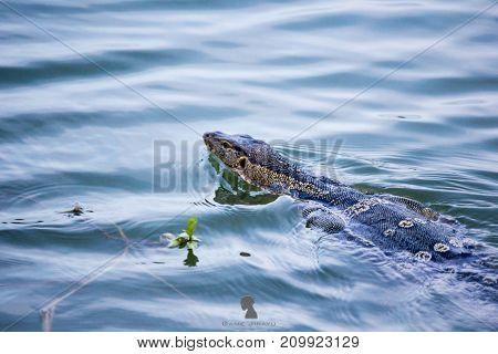 Asia Monitor Varanus niloticus on the water