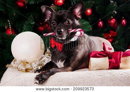 Black dog with Christmas bone gift with Christmas tree
