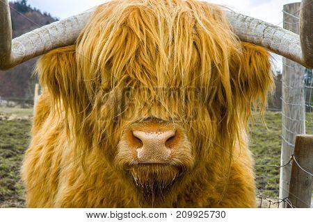 A huge orange haired highland cow Scotland UK
