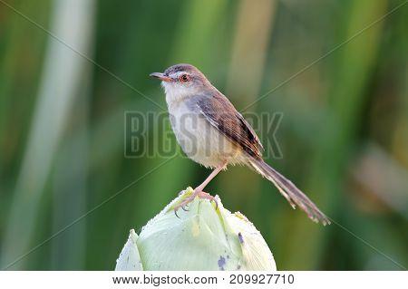 Plain Prinia Prinia Inornata Birds Over The Lotus
