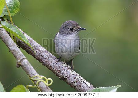 Little Pied Flycatcher Ficedula Westermanni Beautiful Female Birds Of Thailand