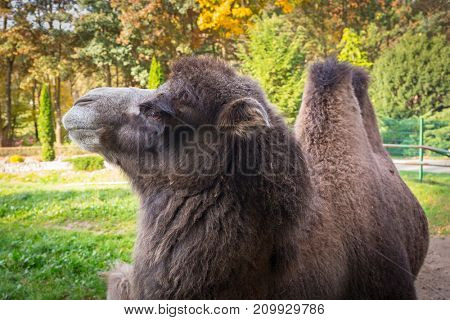 Portrait of camel in the zoo