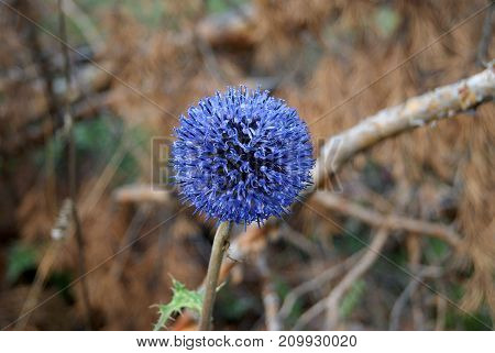 blue spherical flower of echinops closeup on blurred background