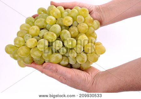 clusters of grapes in the hands of a woman on a white background.