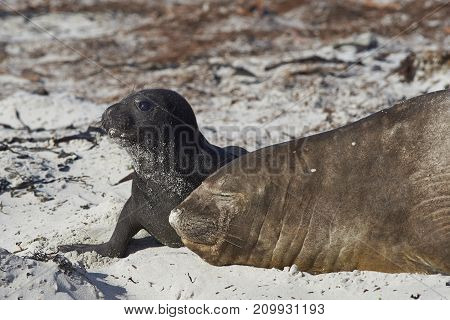 Female Southern Elephant Seal (Mirounga leonina) with a recently born pup lying on a beach on Sea Lion Island in the Falkland Islands.