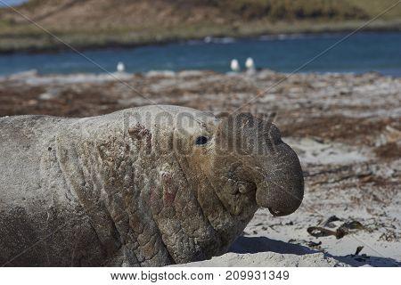 Battle scarred Male Southern Elephant Seal (Mirounga leonina) lying on a sandy beach on Sea Lion Island in the Falkland Islands.